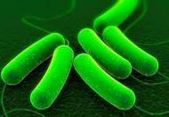 E-Coli Bacteria